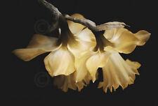 Sunning Daffodils David Lorenz Winston Photograph Flower Print Poster 19x13