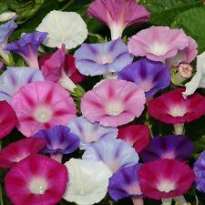 Kings Seeds - Ipomoea Purpurea Lazy Luxe Mixed - 60 Seeds