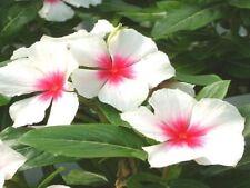 200 Seeds Vinca Sunsplash White With Eye Bulk Seeds