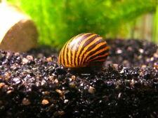 Zebra nerite algae eating snail Tropical Fish Aquarium live