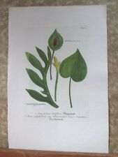 "Vintage Engraving,ARUM HORTENSE,C.1740,WEINMANN,Botanical,20x13.5"",Mezzotint"