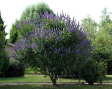 Vitex agnus-castus | Monks Pepper | Chaste Tree | 10_Seeds