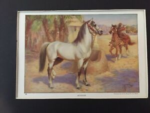 Arabian Horse Print -1923 National Geographic - By Edward Miner - MATTED