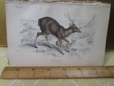 Vintage Print,GREAT RUSA,Bengal,Jardine,c1840,Mammalia
