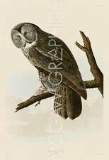 "AUDUBON JAMES JOHN - GREAT CINEREOUS OWL - ART PRINT POSTER  11"" x 14"" (40725)"