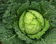 Wirsing 150 semi per minestrone Brassica oleracea