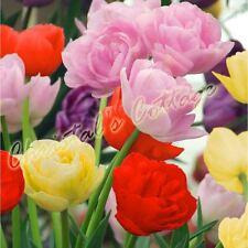 8 MIXED COLOUR DOUBLE TULIP AUTUMN GARDENING SPRING FLOWER BULB CORM PERENNIALS