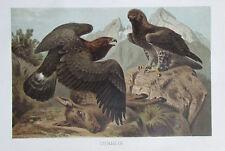 1893 STEINADLER alter Druck antique print Litho Brehms Tierleben Vogel Adler