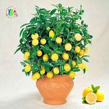 20pcs Lemon Tree seeds UK fruit seeds bonsai plant DIY home garden  BONSAI seeds