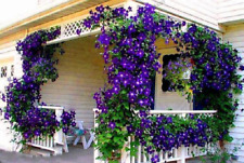 100 Pcs Blue Clematis Seeds Outdoor Plant Natural Growth Bonsai Home Garden