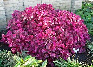 Plant Bloodleaf Red (iresine herbstii) 1 x 20cm Plant