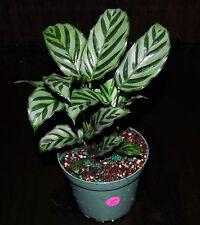 "Prayer Plant~Calathea concinna 'Freddie' 5"" Pot Full Easy Tropical Houseplant"