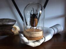 Cabinet de curiosités Oddities Globe insecte Eupatorus gracilicornis