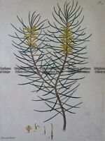 Antique Print 230-258 Botanical - Australian by Andrews c.1820 Botanicals