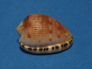 """Cypraecassis testiculus Linnaeus, 1758 """"A CLASSIC COLLECTIBLE""""  (31.4mm)"""