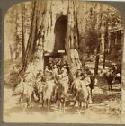 Antique Stereoview, Underwood & Underwood, Cavalry, Redwood, California