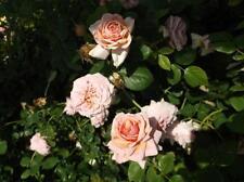 Lady Ash Apricot Salmon Rose 2 Gal Live Bush Plants Climbing Plant Fine Roses