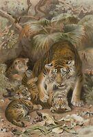 W. KUHNERT (1865-1926). Tigermutter spielt mit Jungen. Chromolitho