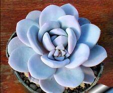 3X coltivare i propri Echeveria ICE CRYSTAL casa pianta rara seme di foglie succulente