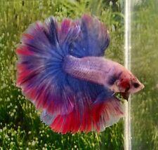 Thai Import Fancy Multicolor Male HM Halfmoon Betta Splendens Live Fish