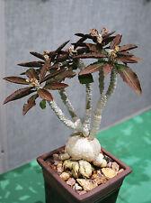 EUPHORBIA AMBOVOMBENSIS  exotic madagascar bonsai caudex cacti seed 5 seeds