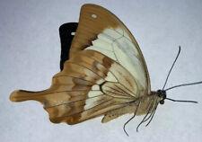 Papilio Dardanus meriones Male A1 Papered Specimen Ex Madagascar