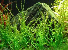 Helanthium bolivianum 'Vesuvius' Corkscrew - Live Aquarium/Fish Tank Plant