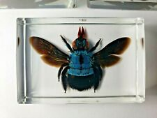 XYLOCOPA CAERULEA. BLUE CARPENTER BEE preserved in indestructible resin.