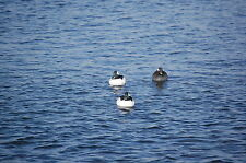 Traditions Bufflehead (Sample Decoy) by Ure-a-Duck Decoys,, Largest in the world