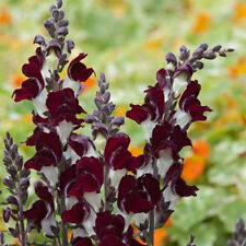 Kings Seeds - Antirrhinum Night and Day - 500 Seeds