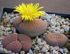 Living Stone Seed Arid Living Delightful Small Plants Lithops hookeri