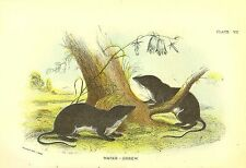Rare 1896 Antique Mammal Print ~ The Water Shrew ~ Excellent Details!