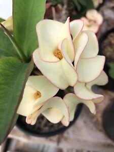 Euphorbia Milii -Crown of Thorns Succulent Thai Hybrid - 1 Cutting