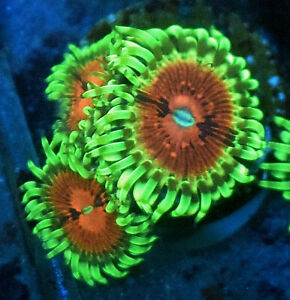 Lime Chillie, 5 Heads,  ZOA soft coral frag
