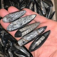 TEN (10) CHARGED Moroccan Black Orthoceras Fossils - 350 Million Years Old