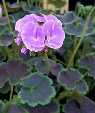 15 Geranium Seeds Cola Violet