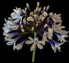 Agapanthus 3x Large Plug Plant 'Twister'. National Collection Holders