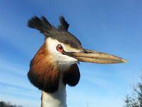 REAL GREBE MOUNT BIRD TAXIDERMY