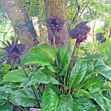 Tacca chantieri  Bat Flower  Unusual Tropical Pot Plant  Beautiful Black Flower