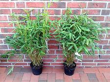 5 Bambus Opal, 70-80 cm, winterhart + horstbildend, Fargesia