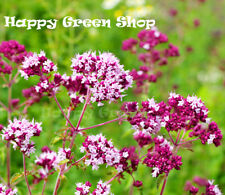 PURPLE OREGANO - Wild Marjoram - 2000 seeds - Origanum vulgare - Improved strain