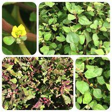 Neuseeländer Spinat Tetragonium tetragonioides New Zealand Spinach Salat Gemüse
