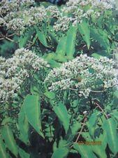 Tausendblütenstrauch - Bienenbaum - Honigesche - Tetradium daniellii - Euodia hu