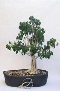 20 year old bonsai tree, ficus benjamina