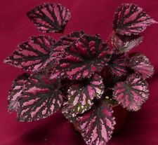 """Begonia Pflanze Lacy closson 6"""" Topf großer Rex"""
