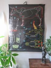 VINTAGE DR AUZOUX SOUGY PULL DOWN SCHOOL WALL CHALK CHART OF A COW VACHE KUH