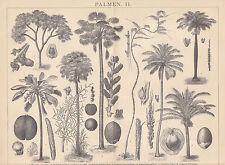 Palmeras latania Attalea areca rhapix madera picadura de 1885 Corypha