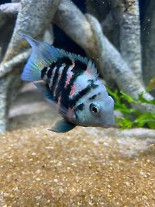 polar blue parrot cichlid