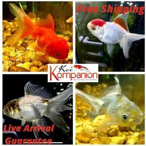 "5+1 Assorted Fancy 1.5- 2"" (M/S) Oranda Goldfish Koi Kompanion"