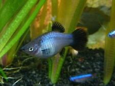Neon Blue Wag Platy (Lot of 4)